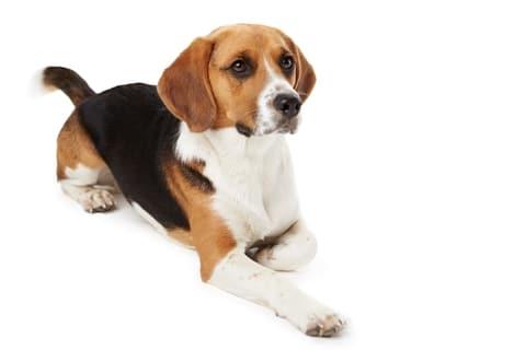 Er bestaat een DNA test voor Beagles met epilepsie