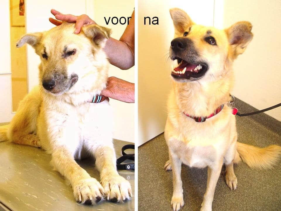 Hond met leishmania, voor en na de behandeling
