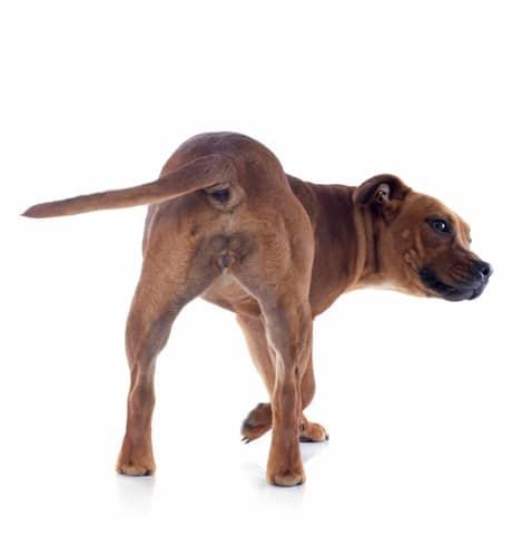 giardia hond gaat niet over
