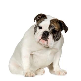 engelse bulldog pup
