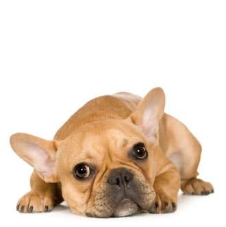 Een goedkope rashond uit het buitenland en heeft een grotere kans om hondenziekte te krijgen.