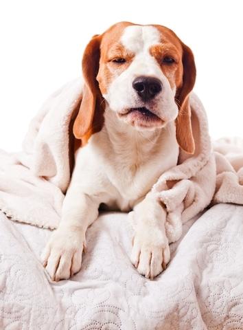 Heeft deze verkouden hond kennelhoest?