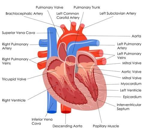 hart anatomie