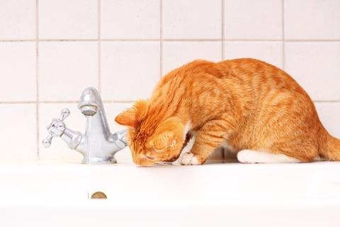 Katten met suikerziekte drinken en eten vaak veel