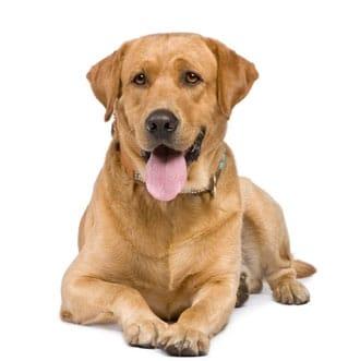 Gelukkig hebben veel Labradors geen epilepsie