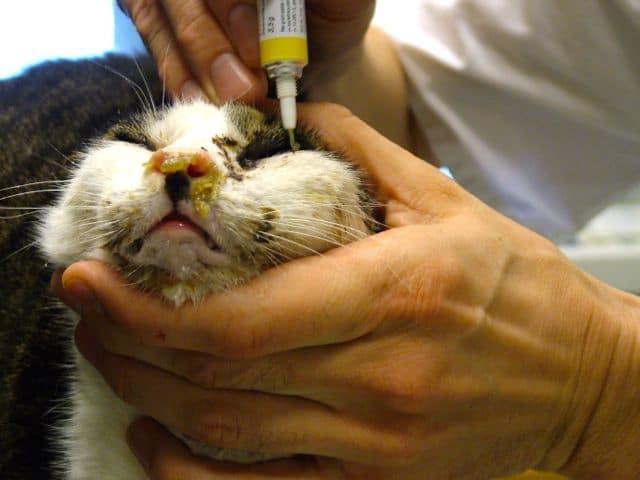 ernstige acute niesziekte bij een niet-gevaccineerde kat
